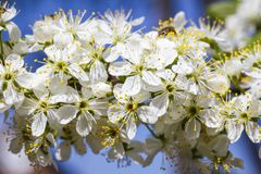 Spring flowers series: Close-up of a Cherry Plum tree. against t royalty free stock image