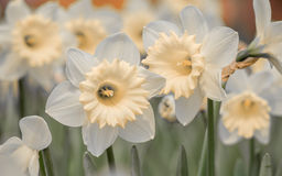 Spring flowers series,  daffodils Royalty Free Stock Images