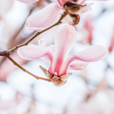 Spring flowers series, Magnolia tree blossom Stock Photography