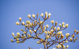 Spring flowers series, Magnolia tree blossom Stock Photo