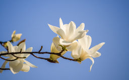 Spring flowers series, Magnolia tree blossom Stock Images