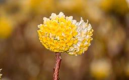 Spring flowers series: Oriental Paperbush Stock Photos