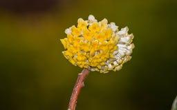 Spring flowers series: Oriental Paperbush Royalty Free Stock Image