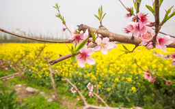 Spring flowers series, peach blossoming in rapeseed field Royalty Free Stock Photography