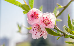Spring flowers series, peach blossoming Royalty Free Stock Photography