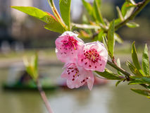 Spring flowers series, peach blossoming Stock Photos