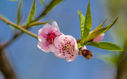 Spring flowers series, peach blossoming Stock Images