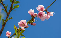Spring flowers series, peach blossoming Stock Photo