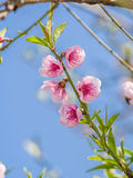 Spring flowers series, peach blossoming Royalty Free Stock Images