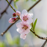 Spring flowers series, peach blossoming Stock Image