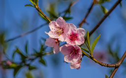 Spring flowers series, peach blossoming Royalty Free Stock Photo
