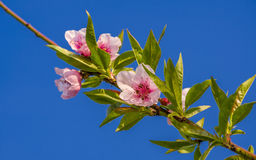 Spring flowers series, peach blossoming Stock Photography