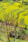 Spring flowers series, peach blossoming in rapeseed field Stock Image