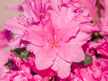 Spring flowers series, Pink Azalea flowers Royalty Free Stock Images