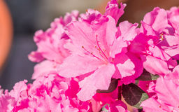 Spring flowers series, Pink Azalea flowers Royalty Free Stock Photo