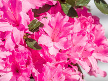 Spring flowers series, Pink Azalea flowers Royalty Free Stock Photography