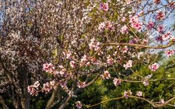 Spring flowers series, pink peach blossoming Stock Image