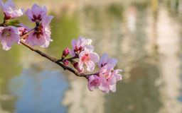 Spring flowers series, pink peach blossoming Royalty Free Stock Image