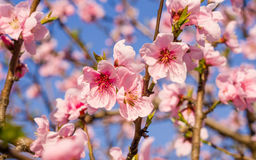Spring flowers series, pink peach blossoming royalty free stock photo