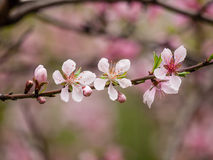 Spring flowers series, pink peach blossoming Stock Images