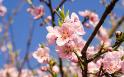 Spring flowers series, pink peach blossoming Stock Photos