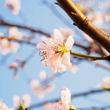 Spring flowers series, pink peach blossoming Royalty Free Stock Images