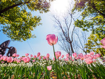 Spring flowers series, pink tulips Royalty Free Stock Image