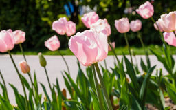 Spring flowers series, pink tulips against strong sun shine Stock Images