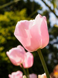 Spring flowers series, pink tulips against strong sun shine Stock Image