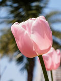 Spring flowers series, pink tulips against strong sun shine Royalty Free Stock Photos