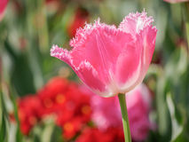 Spring flowers series, pink tulips with jaggy petals Stock Photo