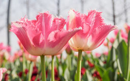 Spring flowers series, pink tulips with jaggy petals Royalty Free Stock Photo