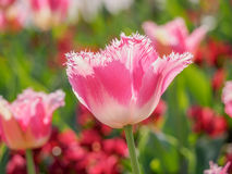 Spring flowers series, pink tulips with jaggy petals Royalty Free Stock Images