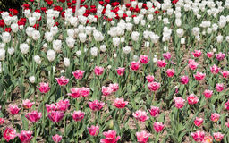 Spring flowers series, pink and white  tulips in field Royalty Free Stock Photos