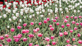 Spring flowers series, pink and white  tulips in field Royalty Free Stock Photography