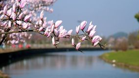 Spring flowers series, purple Magnolia flower in wind with blue sky and river background stock footage