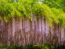 Spring flowers series, purple Wisteria Royalty Free Stock Image