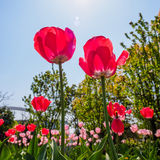 Spring flowers series, red tulips Stock Images
