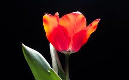 Spring flowers series, single red tulip Royalty Free Stock Photos