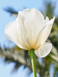 Spring flowers series, single white tulip in field against blue Stock Photography