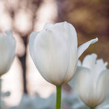 Spring flowers series, single white tulip in field Stock Photo