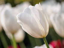 Spring flowers series, single white tulip in field Royalty Free Stock Image