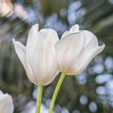 Spring flowers series, twin white tulips in field Royalty Free Stock Images