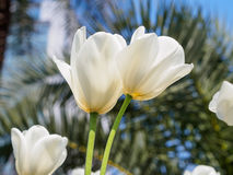 Spring flowers series, twin white tulips in field Royalty Free Stock Photo