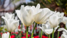 Spring flowers series, twin white tulips in field Stock Image
