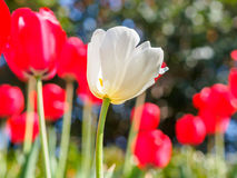 Spring flowers series, white tulip among red tulips in field Stock Image