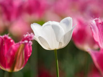 Spring flowers series, white tulip Royalty Free Stock Photo