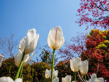 Spring flowers series, white tulips Royalty Free Stock Image