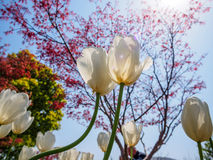 Spring flowers series, white tulips royalty free stock images