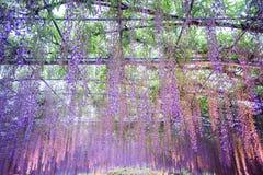 Spring flowers series, wisteria trellis in garden stock photo